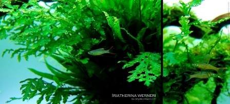 Iriatherina werneri - Photo by: Andrea Ongaro