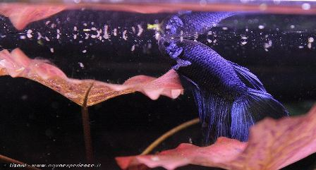 Maschio di Betta splendens half moon - Foto by: Lizard