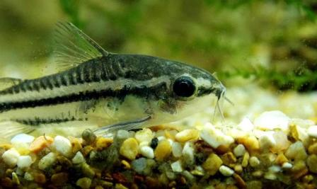 Corydoras pygmaeus - Photo by Andrea Perotti