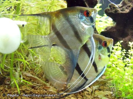 Pterophyllum scalare var. Silver - Foto by: Paplu