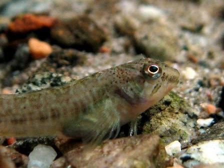 Padogobius bonelli - Photo by: Andrea Perotti